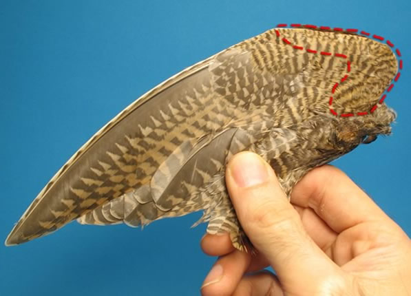 Select a feather from the marked section of the wing...