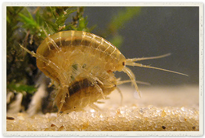 Freshwater crustaceans of South America ?