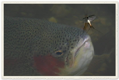 Rainbow trout rising to mayfly spinner