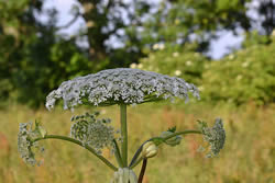 Giant Hogweed (Heracleum mantegazzianum) by Huhu Uet